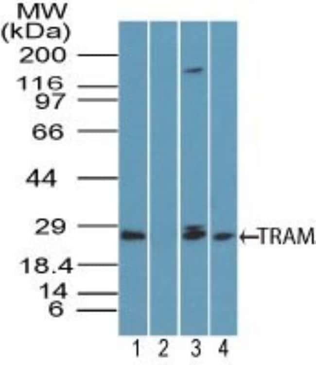 anti-TRAM/TICAM2, Polyclonal, Novus Biologicals:Antibodies:Primary Antibodies