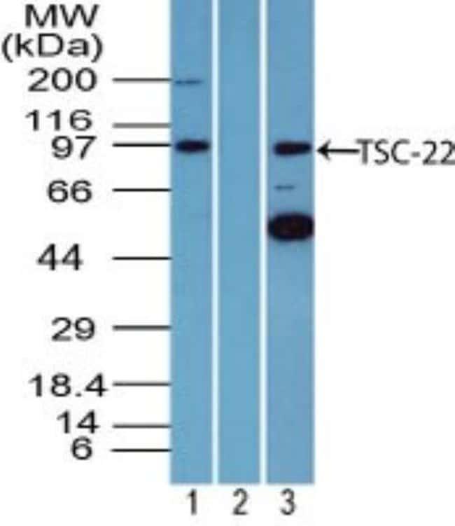 anti-TSC22/TSC22D1, Polyclonal, Novus Biologicals:Antibodies:Primary Antibodies