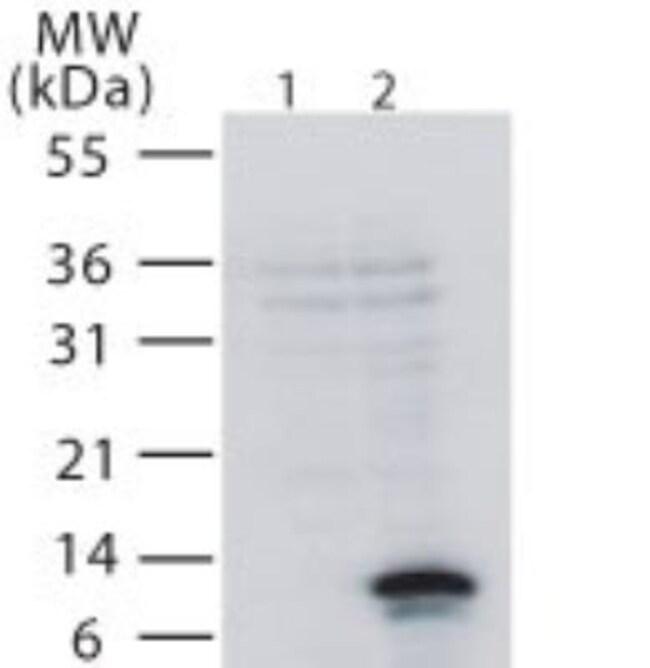 anti-TWEAK R/TNFRSF12, Polyclonal, Novus Biologicals:Antibodies:Primary