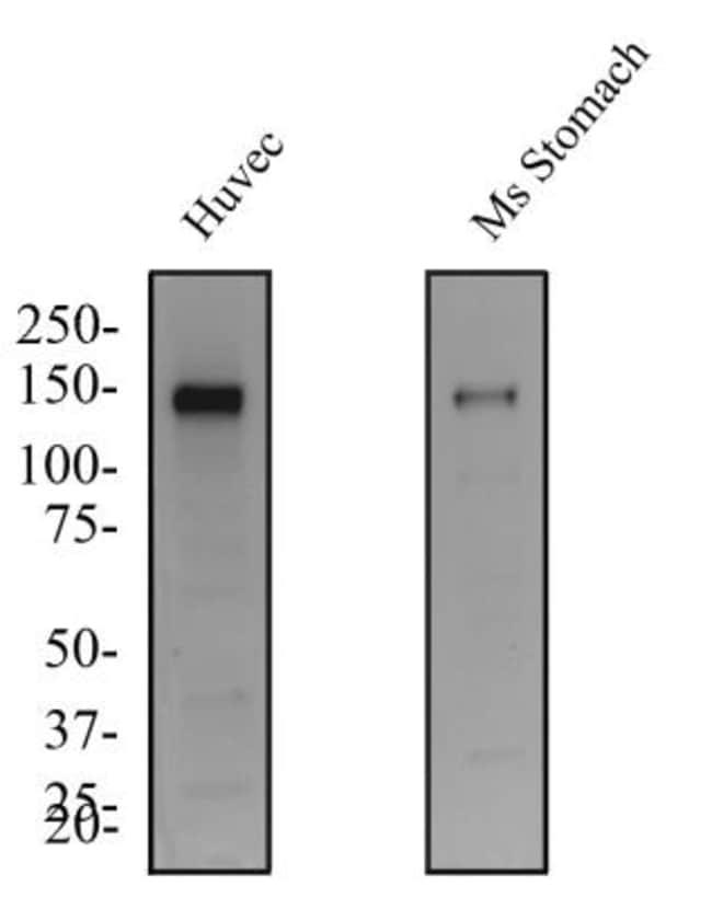 anti-Tie-2, Polyclonal, Novus Biologicals:Antibodies:Primary Antibodies