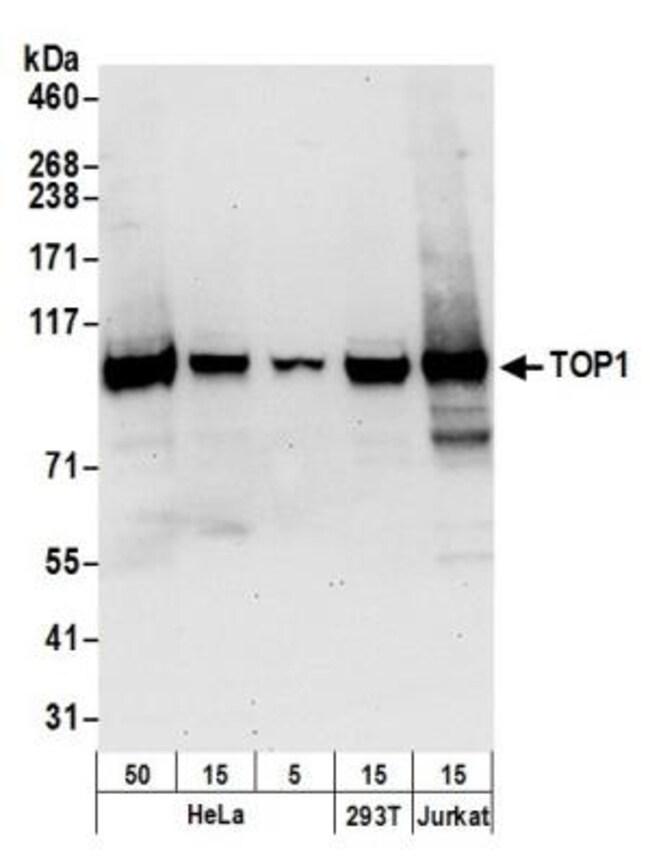anti-Topoisomerase I, Polyclonal, Novus Biologicals 0.1mL; Unlabeled:Life