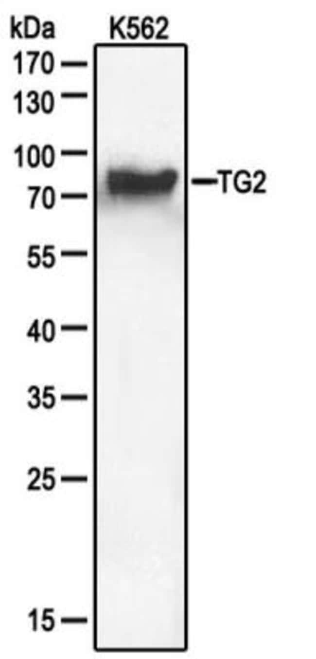 anti-Transglutaminase 2/TGM2, Polyclonal, Novus Biologicals:Antibodies:Primary