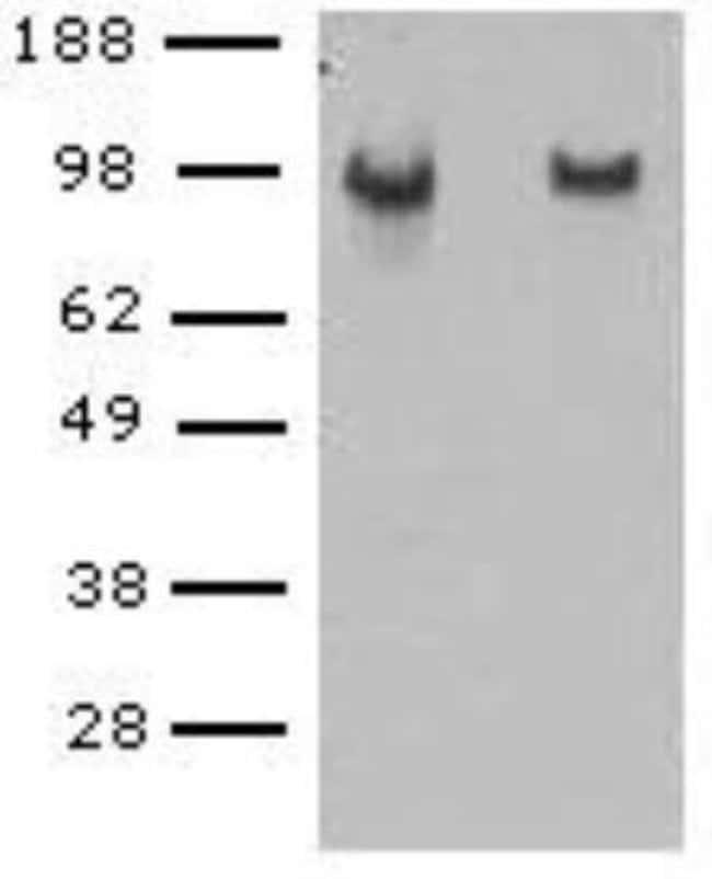Rat anti-VE-Cadherin, Clone: BV14, Novus Biologicals 0.5mg; Unlabeled:Life