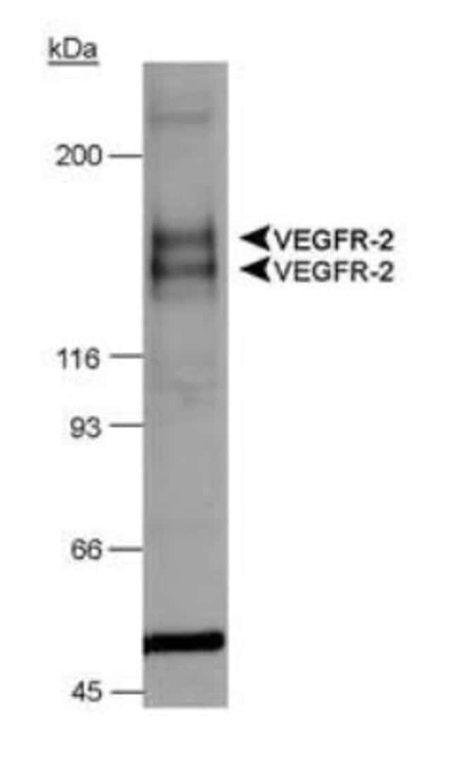 anti-VEGF R1/Flt-1, Polyclonal, Novus Biologicals:Antibodies:Primary Antibodies