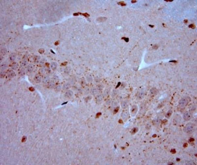 anti-VGluT3, Polyclonal, Novus Biologicals 0.1mL; Unlabeled:Life Sciences