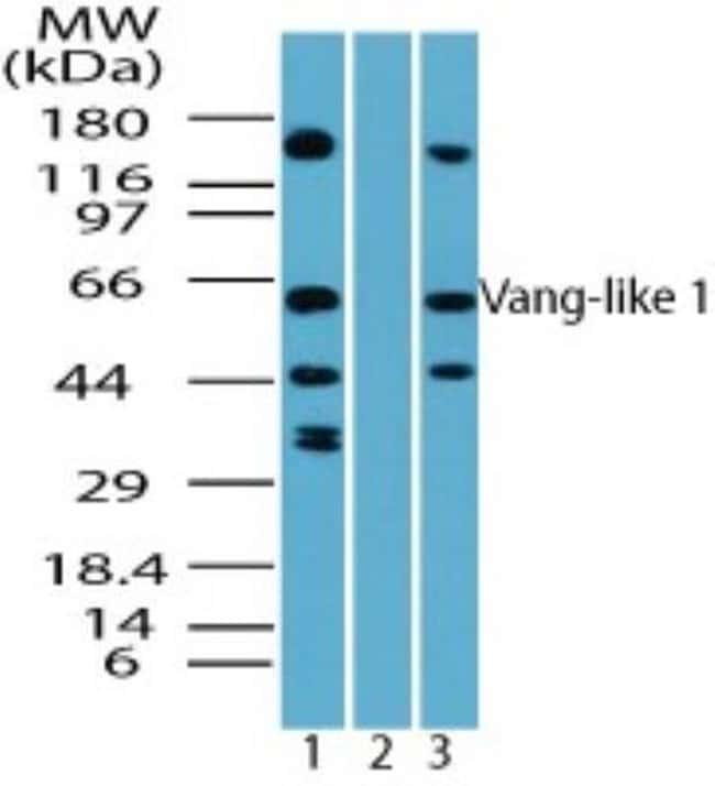 anti-Vang-like Protein 1/VANGL1, Polyclonal, Novus Biologicals:Antibodies:Primary