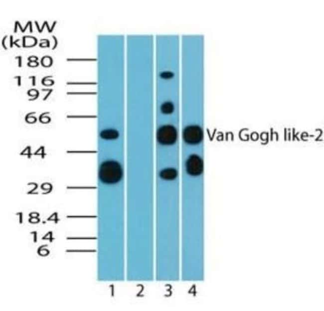 Vang-like Protein 2/VANGL2 Rabbit anti-Human, Mouse, Rat, Bovine, Canine,