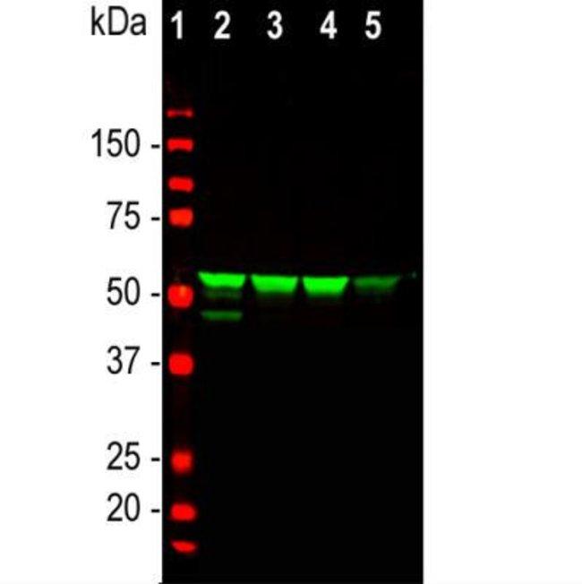 anti-Vimentin, Polyclonal, Novus Biologicals:Antibodies:Primary Antibodies