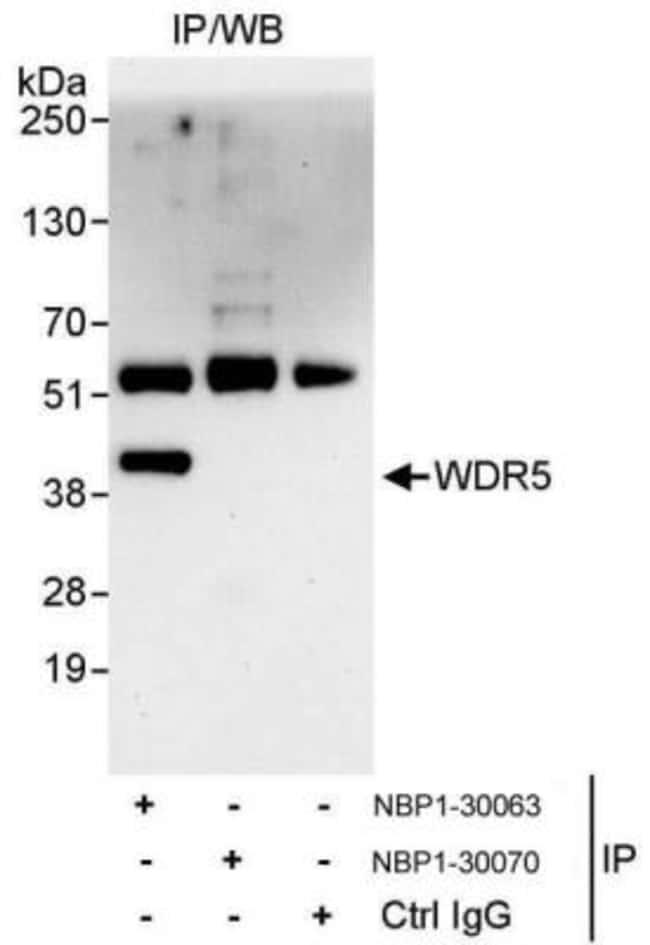 anti-WDR5, Polyclonal, Novus Biologicals 0.1mL; Unlabeled:Life Sciences