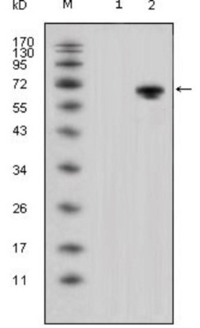 anti-Wnt-5a, Clone: 6F2, Novus Biologicals 0.1mL; Unlabeled:Life Sciences