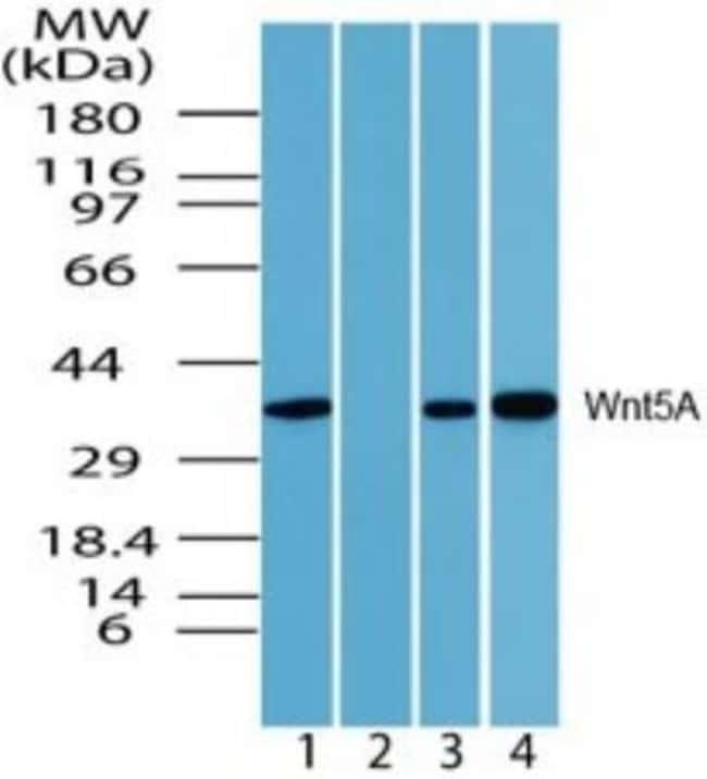 Wnt-5a Rabbit anti-Human, Mouse, Rat, Bovine, Monkey, Polyclonal, Novus