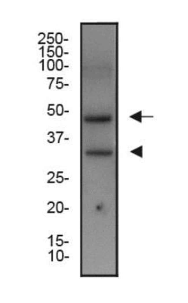 anti-XBP1, Polyclonal, Novus Biologicals 0.1mL; Unlabeled:Life Sciences