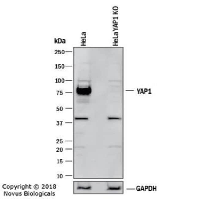 anti-YAP1, Polyclonal, Novus Biologicals:Antibodies:Primary Antibodies