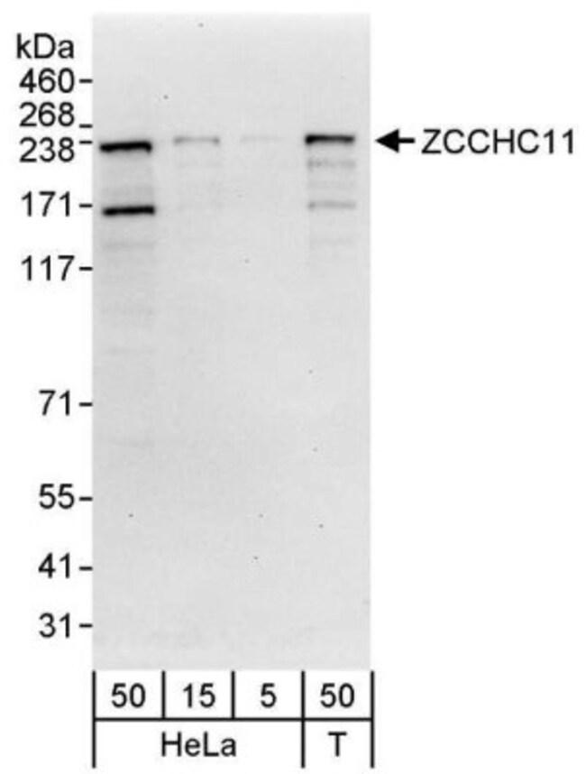 anti-ZCCHC11/TUT4, Polyclonal, Novus Biologicals 0.1mL; Unlabeled:Life