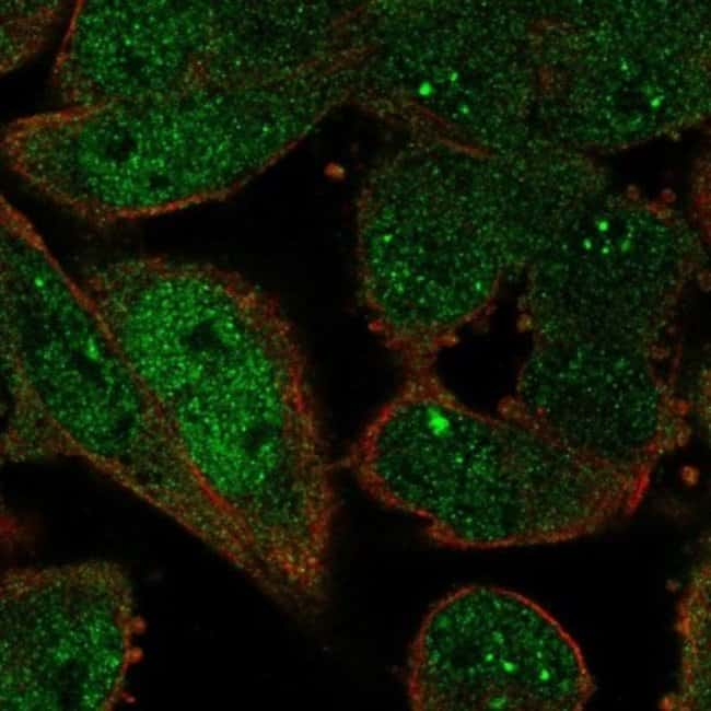 anti-ZWINT, Polyclonal, Novus Biologicals 0.1mL; Unlabeled:Life Sciences