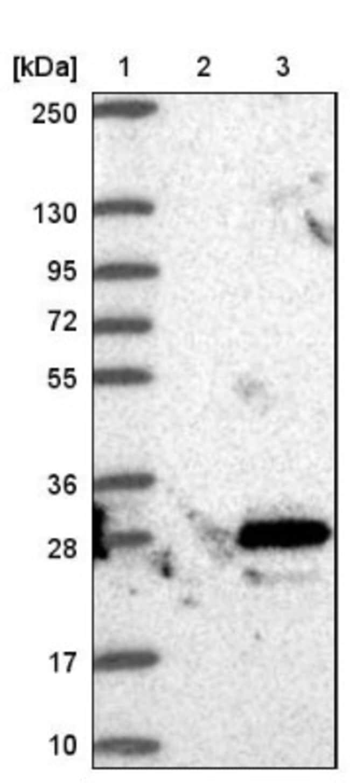 anti-c-Myc-responsive protein Rcl, Polyclonal, Novus Biologicals 0.1mL;