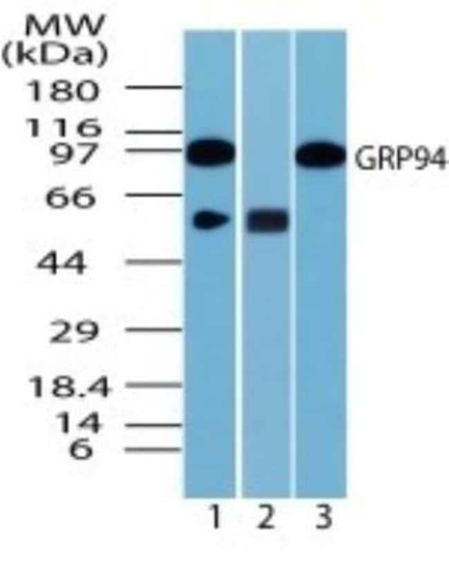 anti-gp96/HSP90B1/GRP94, Polyclonal, Novus Biologicals:Antibodies:Primary