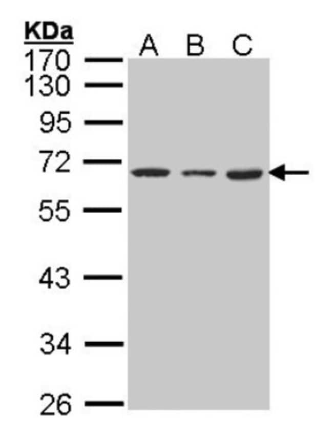 anti-hnRNP K, Polyclonal, Novus Biologicals 0.1mg; Unlabeled:Antibodies