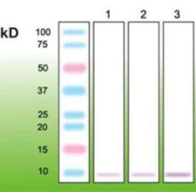 anti-Metallothionein, Clone: N11-G, Novus Biologicals 50uL; Unlabeled:Life