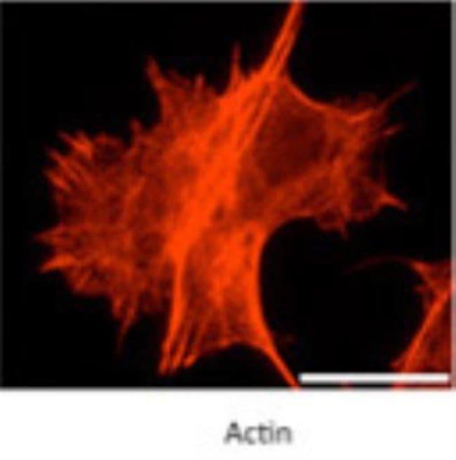 anti-myosin X, Polyclonal, Novus Biologicals 0.1mg; Unlabeled:Life Sciences