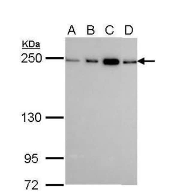 anti-non-muscle Myosin IIA, Polyclonal, Novus Biologicals 0.1mg; Unlabeled:Life