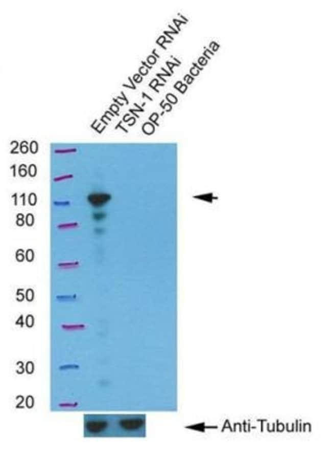 anti-tsn-1, Polyclonal, Novus Biologicals 0.05mL; Unlabeled:Life Sciences
