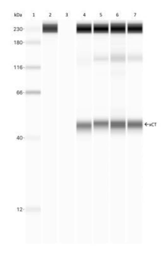 anti-xCT, Polyclonal, Novus Biologicals:Antibodies:Primary Antibodies