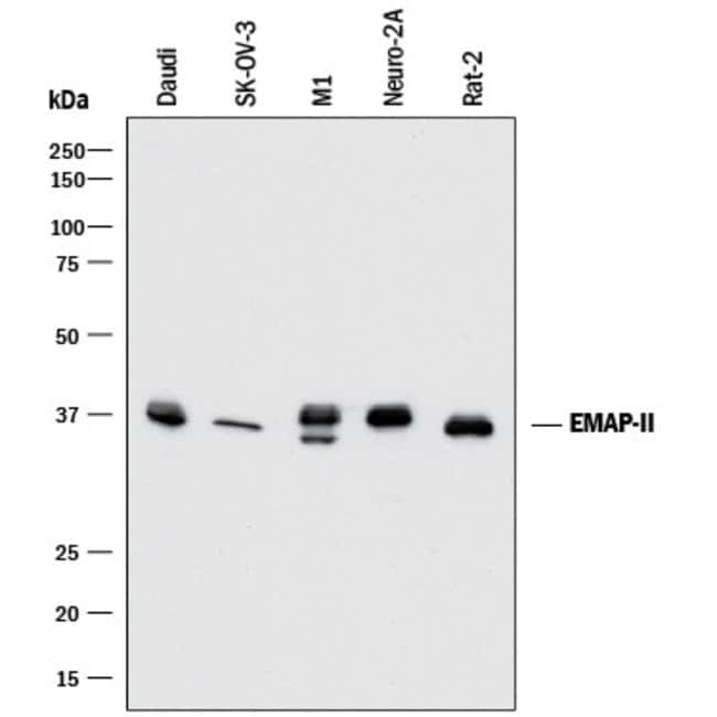 EMAP-II/AIMP1 Mouse anti-Human, Mouse, Rat, Clone: 959516, R::