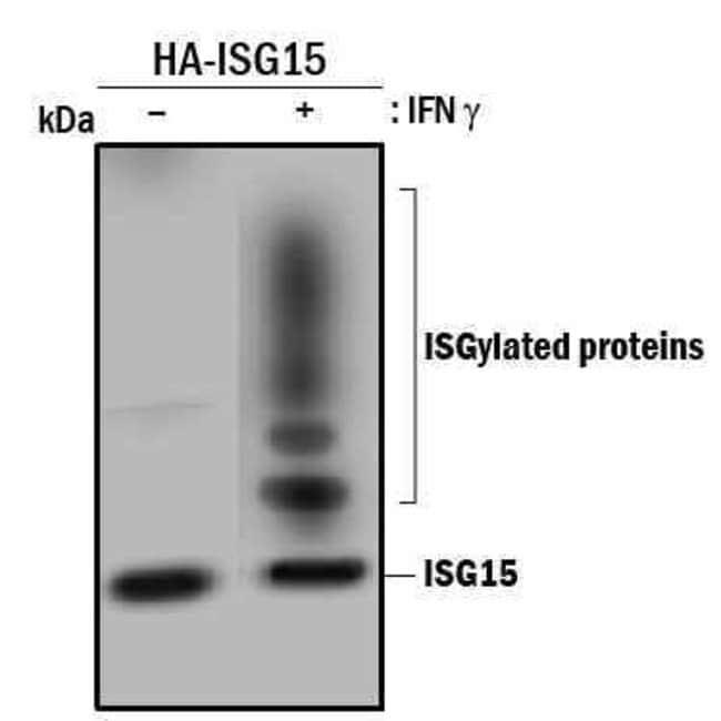 anti-ISG15/UCRP, Clone: 851701, R 50ug; Unlabeled:Life Sciences