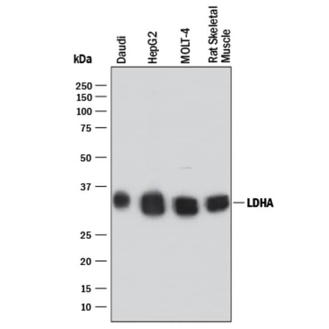 Lactate Dehydrogenase A/LDHA Rabbit anti-Human, Rat, Clone: 2066C, R::