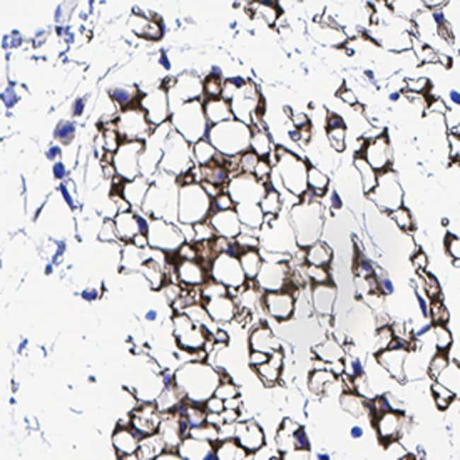 Leptin/OB, Rabbit anti-Mouse, Clone: 2299B, R:Antibodies:Primary Antibodies