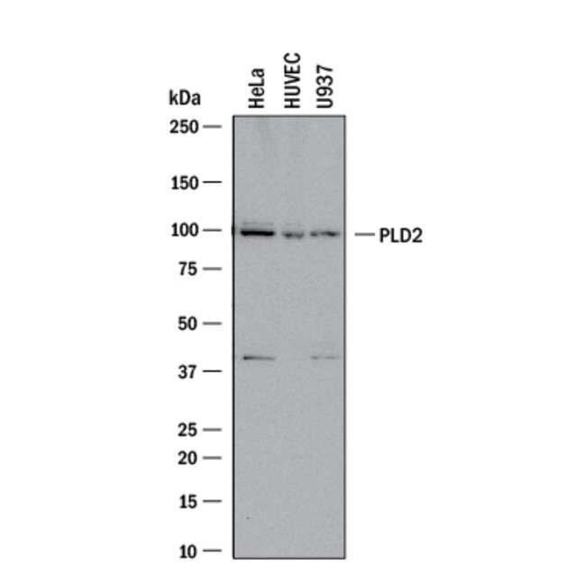 PLD2, Goat anti-Human, Polyclonal, R:Antibodies:Primary Antibodies