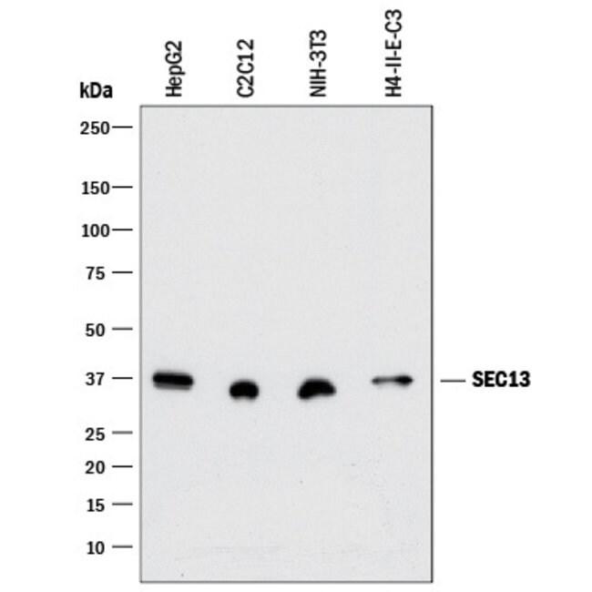 SEC13 Rabbit anti-Human, Mouse, Rat, Clone: 1280C, R::