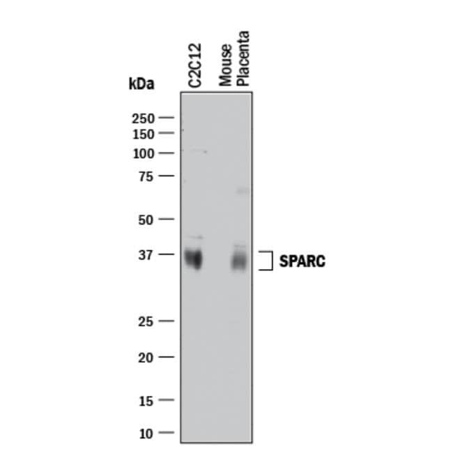 SPARC Goat anti-Mouse, Polyclonal, R 25µg; Unlabeled:Life Sciences