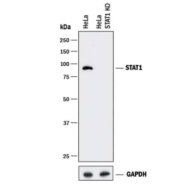 anti-Human/Mouse STAT1 p91, Polyclonal, R 100µg; Unlabeled