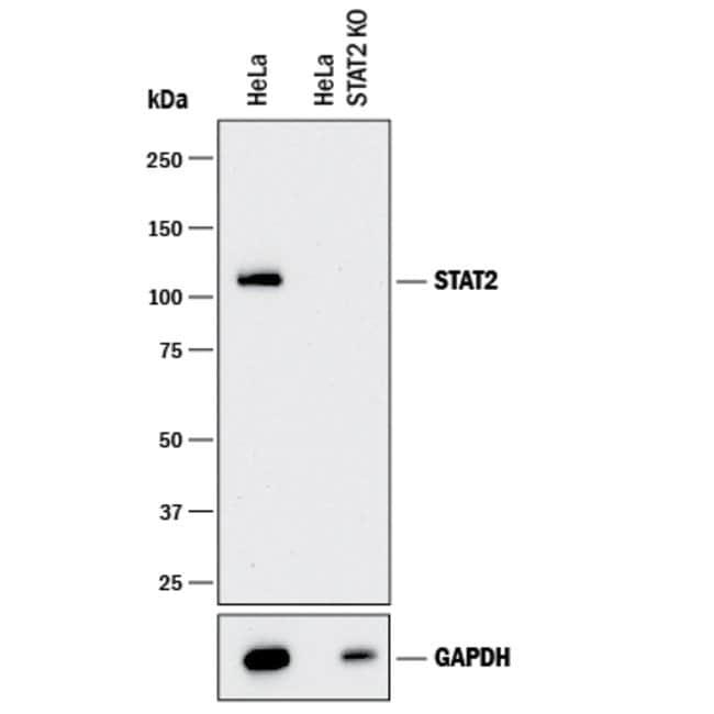 anti-Human STAT2, Polyclonal, R 100µg; Unlabeled