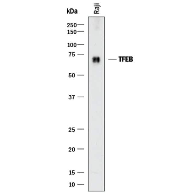 TFEB Mouse anti-Human, Clone: 954604, R::