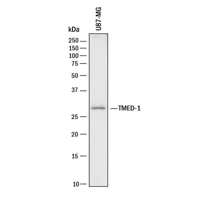 TMED1, Mouse anti-Human, Clone: 1009524, R:Antibodies:Primary Antibodies