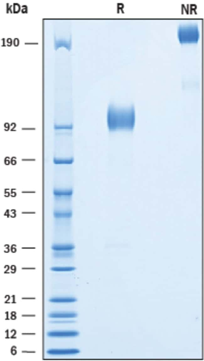 R Recombinant Human 5T4 Fc Chimera Protein, CF Quantity: 100 µg:Life
