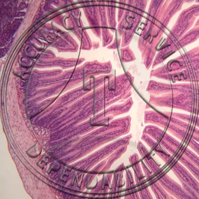 Histology Slides For Digestive System :Teaching Supplies