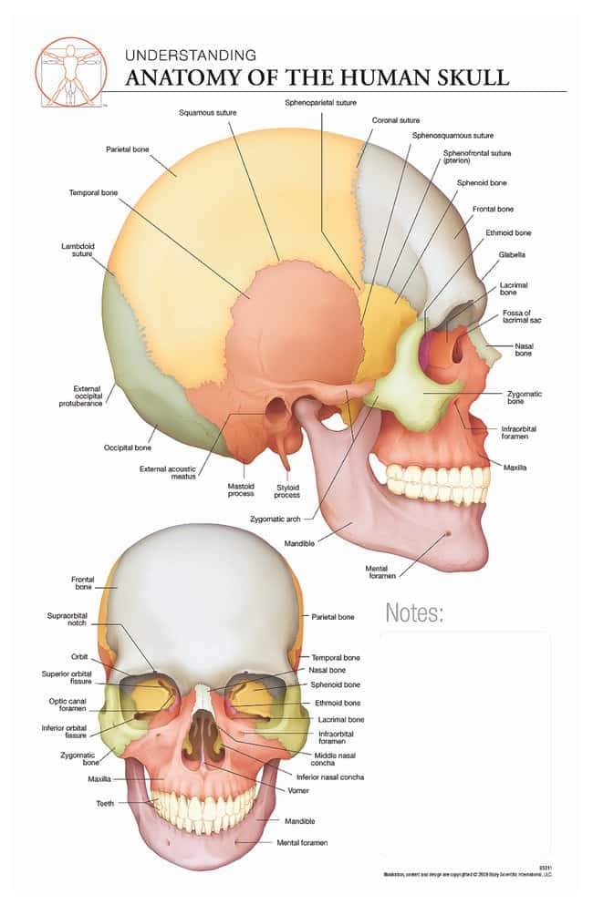 Body Scientific International Post It Anatomy Of Skull Chart Teaching Supplies Classroom Safety