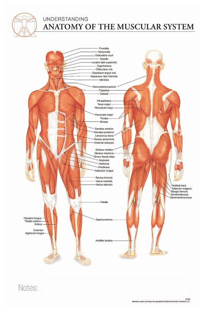 Body Scientific International Post-it Anatomy of Muscular Systems Chart