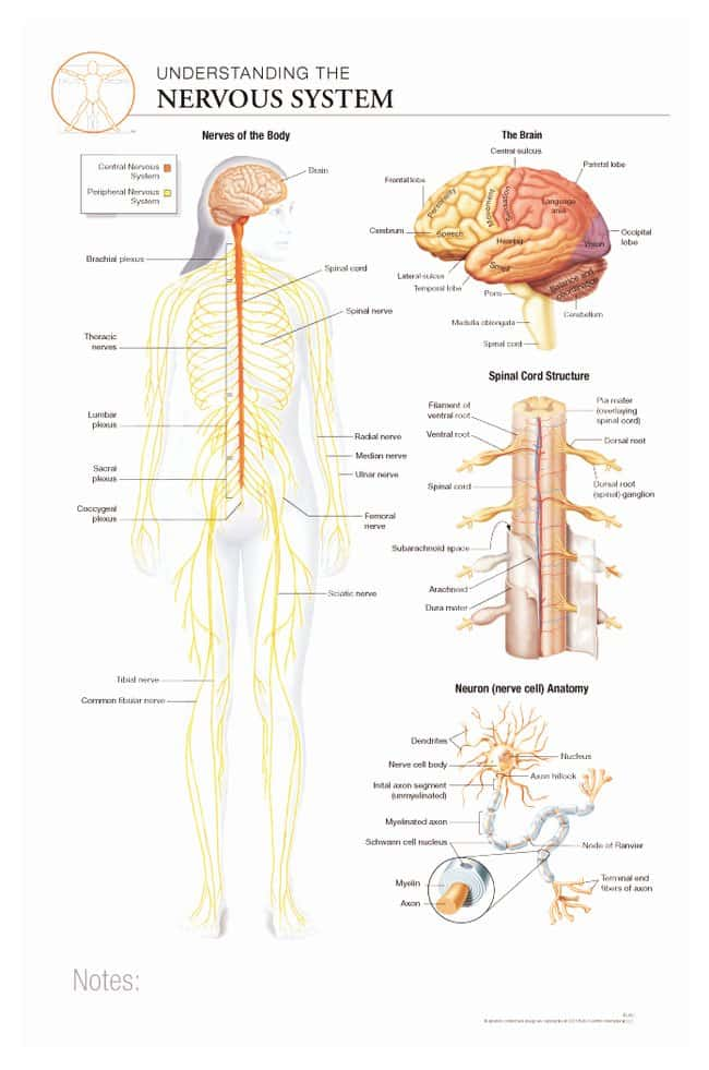 Body Scientific International Post It Anatomy Of Nervous System Chart
