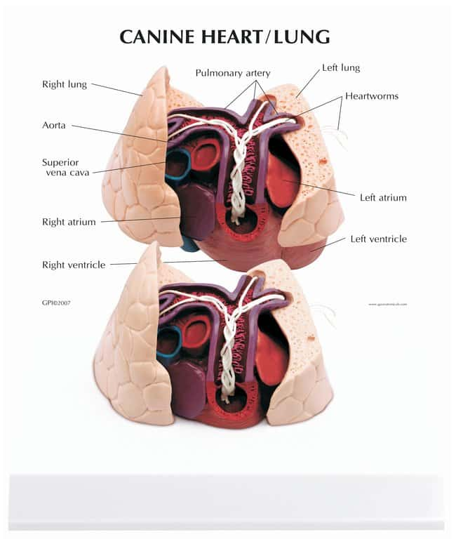 Anatomical Model Of Canine Heart And Lung Canine Heartlungteaching