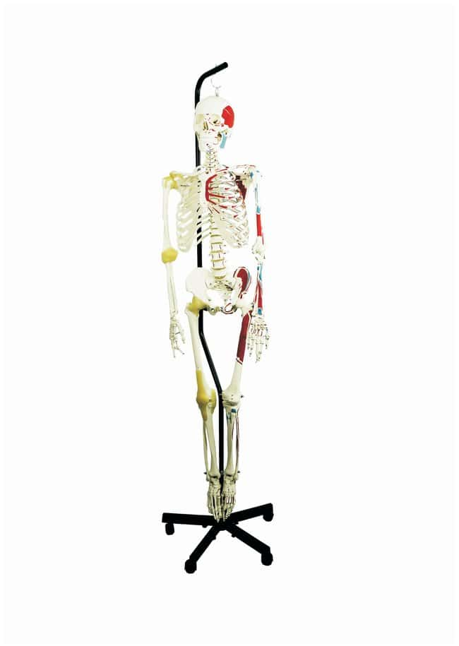 Altay Scientific Human Muscular Skeleton With Joints Anatomical Model