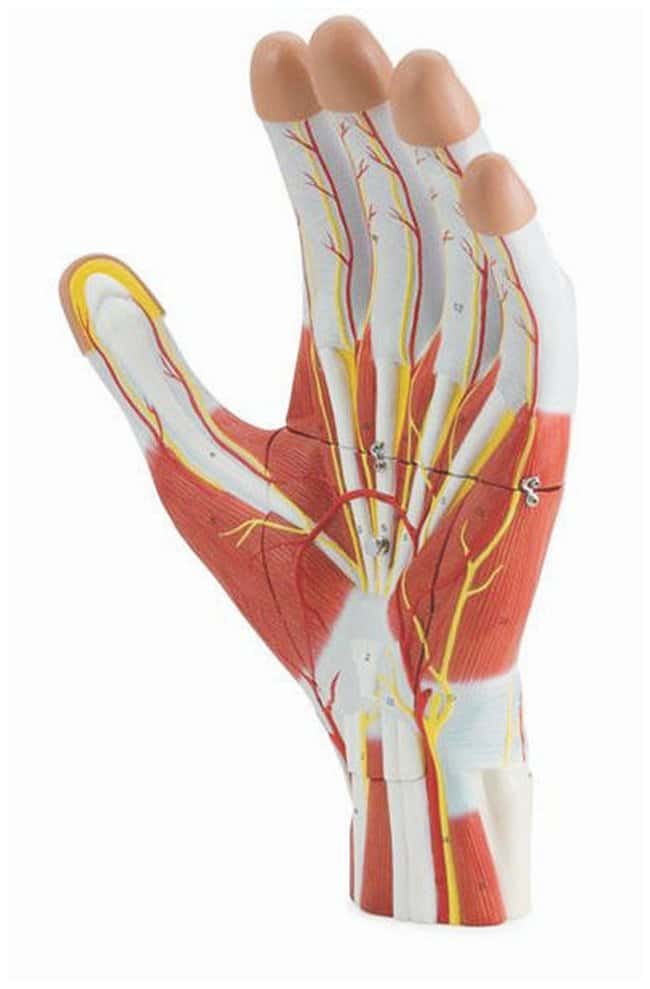Altay Scientific Anatomy Of The Hand Model 3 Part Enlarged 2x Life Size