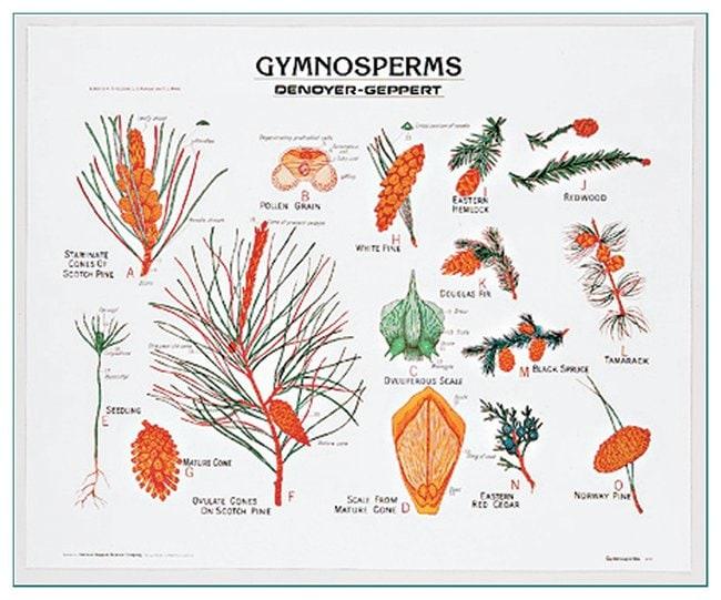 Gymnosperms Chart  Gymnosperms chart:Teaching Supplies