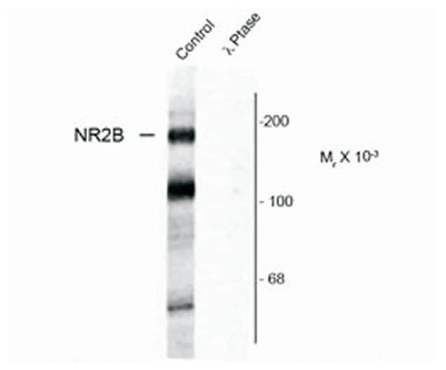 Phospho-NMDAR2B (Tyr1472) Rabbit anti-Rat, Polyclonal, Invitrogen 100 µL;