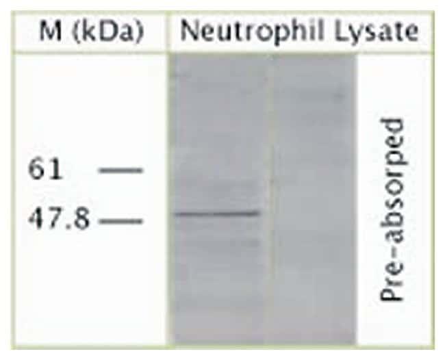 ATG4B Rabbit anti-Human, Rat, Polyclonal, Invitrogen 100 μL; Unconjugated:Antibodies