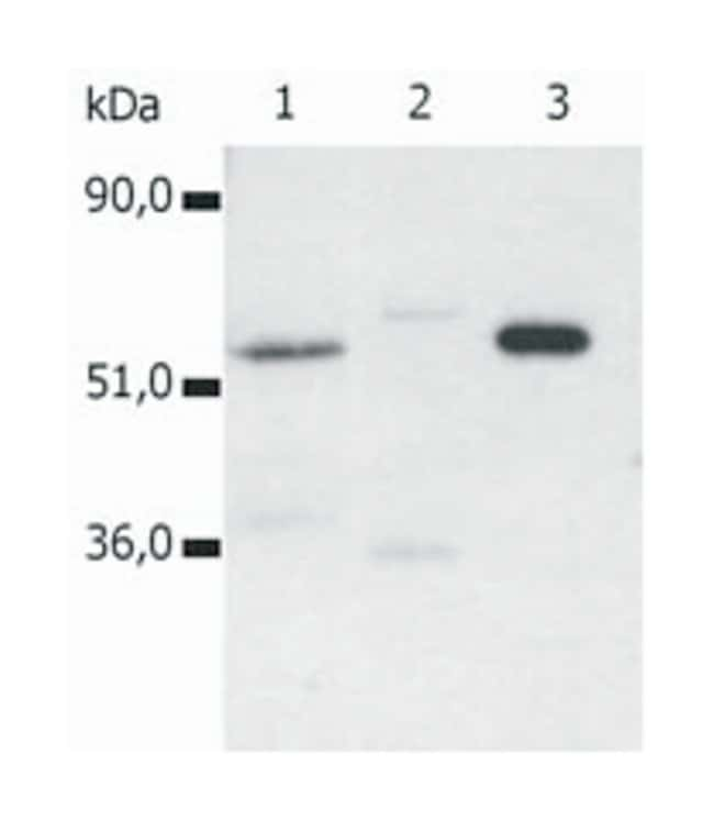 CD4 Mouse anti-Human, Clone: MEM-115, Invitrogen 100 µg; Unconjugated